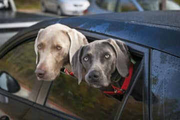 27768086 - two weimaraner dogs looking out of car window in parking lot